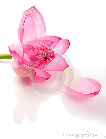 Lotus Royalty Free Stock Image - Image: 12739566