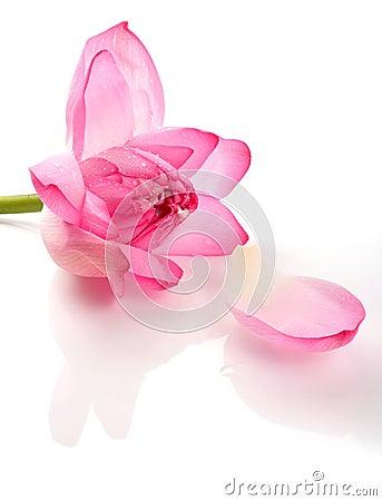 Free Lotus Royalty Free Stock Image - 12739566