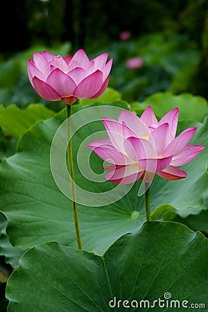 Free Lotus Stock Photography - 14130052