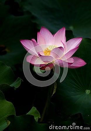 Free Lotus Royalty Free Stock Images - 14993549