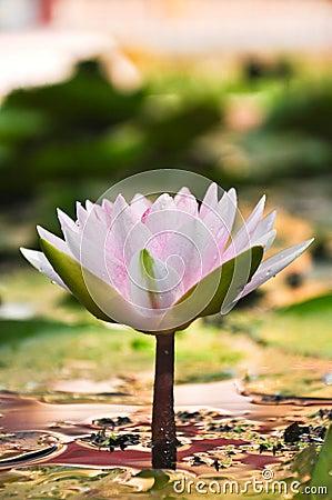 Free Lotus Royalty Free Stock Image - 16524696