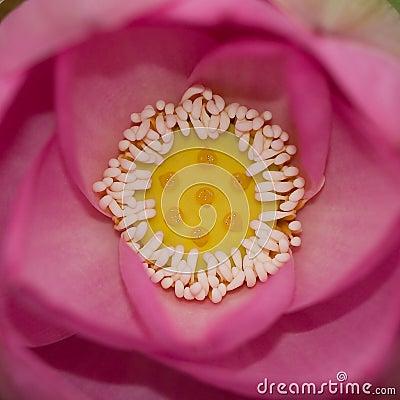 Free Lotus Stock Images - 4629694