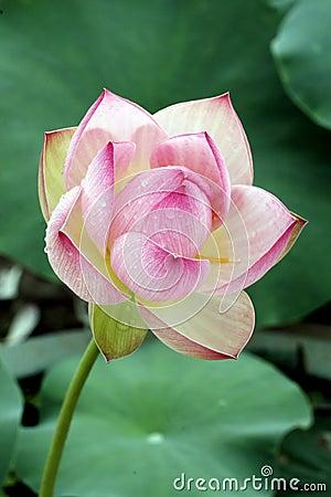 Free Lotus Stock Photos - 5587623