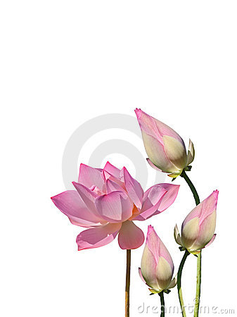 Lotus aquatic flora