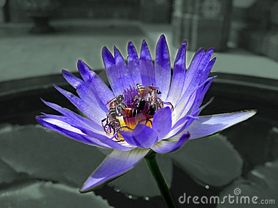 Lotus and bee