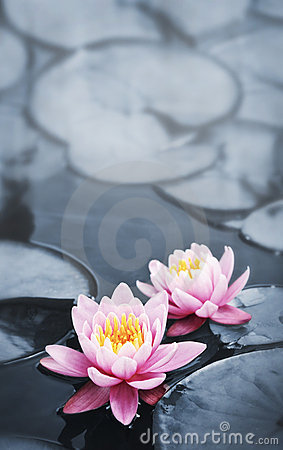Free Lotus Blossoms Stock Images - 16646704