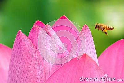 Lotus-Blumenblatt