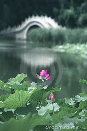 Lotus and bridge