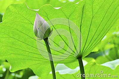 Lotus bud and leave