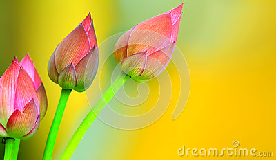 Lotus buds background