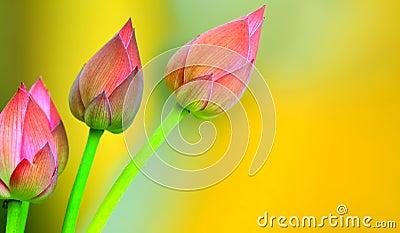 Lotus buds background