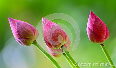 Lotus buds in the wind