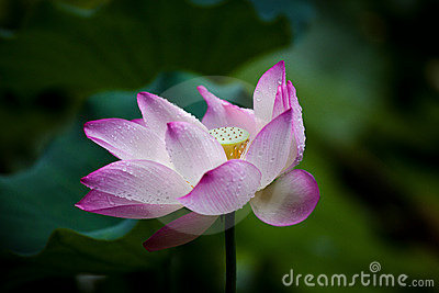 Lotus with dewdrop