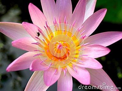 Lotus flower  01