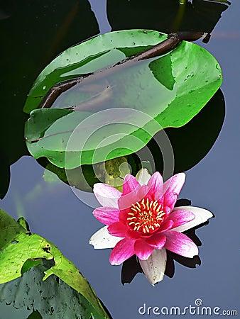 Free Lotus Flower Stock Image - 1036861