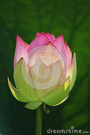 Free Lotus Flower Royalty Free Stock Photo - 166545