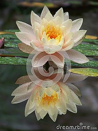 Free Lotus Flower Stock Photography - 21542002