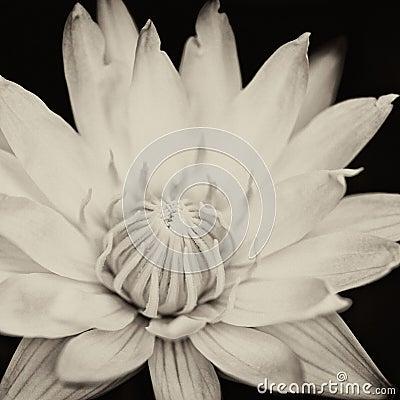 Free Lotus Flower Stock Photos - 42496503