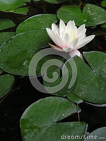 Free Lotus Flower Stock Images - 537344