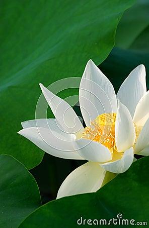 Free Lotus Flower Royalty Free Stock Images - 9700319