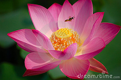 Lotus Flower And Bee Royalty Free Stock Image - Image: 3312606