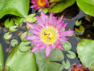 Lotus flower and bee