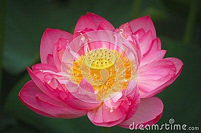 Lotus flower, close up