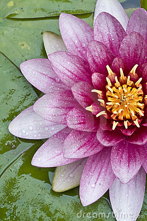 Lotus flower closeup