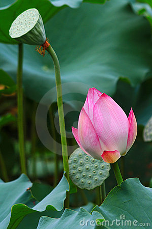 Lotus flower going to bloom