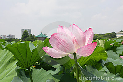 Lotus flower in Japan