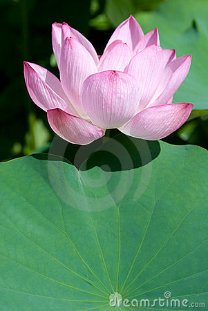 Lotus flower with leaf