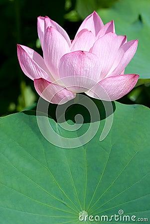 Lotus flower with leaf