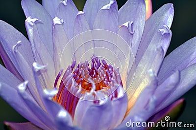 A Lotus Flower Macro
