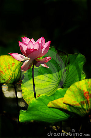 Lotus flower in the morning sunshine