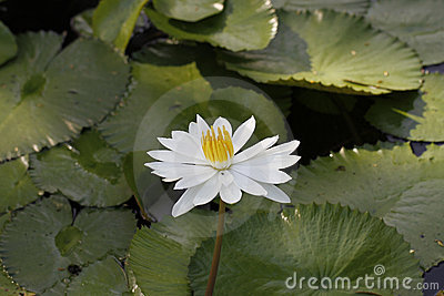 A lotus flower in a pond