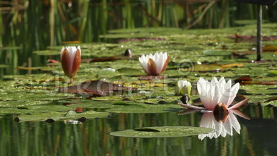 Lotus flower. In a pond by springtime stock video footage