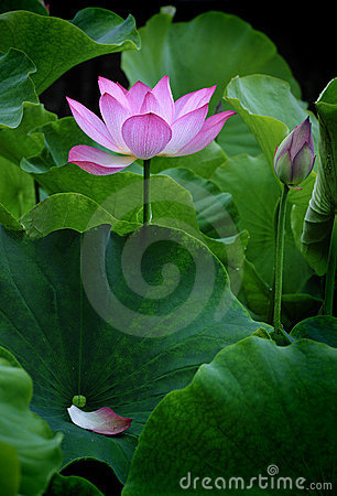 Free Lotus Flower - Pure Stock Photo - 14953150