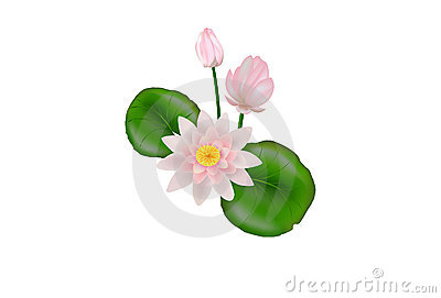 Lotus Flower. Vector
