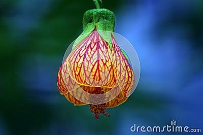 Lanterns flowers