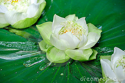 Lotus flowers floating in a pond