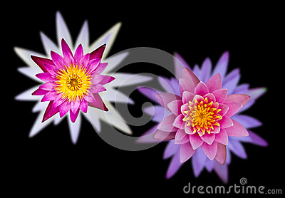 Lotus flowers on two overlapping black background.