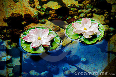 Lotus flowers on water