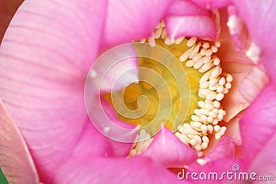 Lotus-Herz