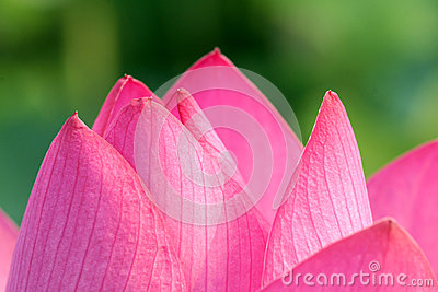 Lotus kronblad