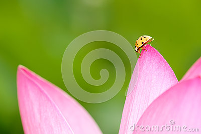Lotus and ladybug