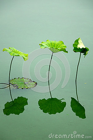 Free Lotus Leaf Stock Photos - 41773653