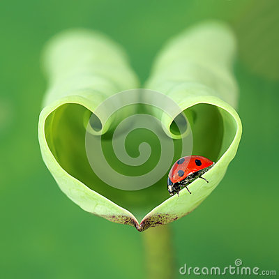 Free Lotus Leaf And Ladybug Stock Image - 61151841