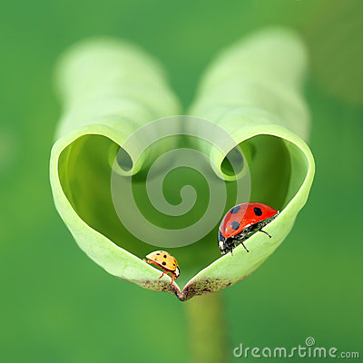 Free Lotus Leaf And Ladybugs Stock Images - 61151864