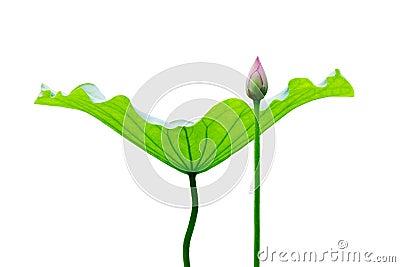 Lotus leaf and bud