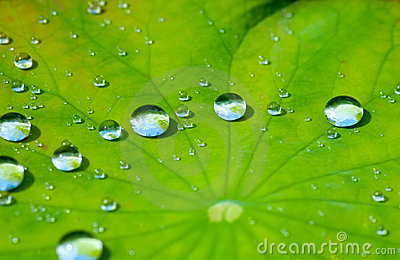 Lotus Leaf With Water Drop Stock Images Image 2879754